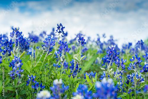 Poster Texas Texas Blue Bonnets