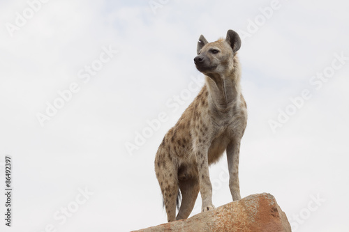 Canvas Prints Hyena hyena