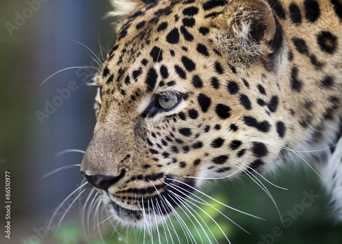Tuinposter Luipaard close up profile of an Amur leopard