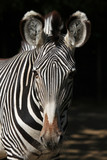 Fototapeta Sawanna - Grevy's zebra (Equus grevyi), also known as the imperial zebra.