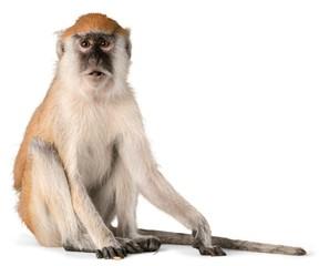Fototapeta Monkey, Isolated, Animal.
