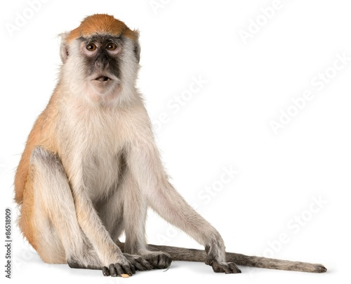 Spoed Foto op Canvas Aap Monkey, Isolated, Animal.