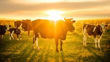 Livestock Grazing At Sunset