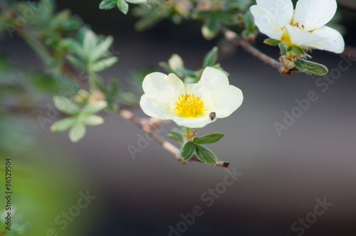 Fotografía  Лапчатка кустарниковая Limelight Potentilla fruticosa Primrose Beauty'