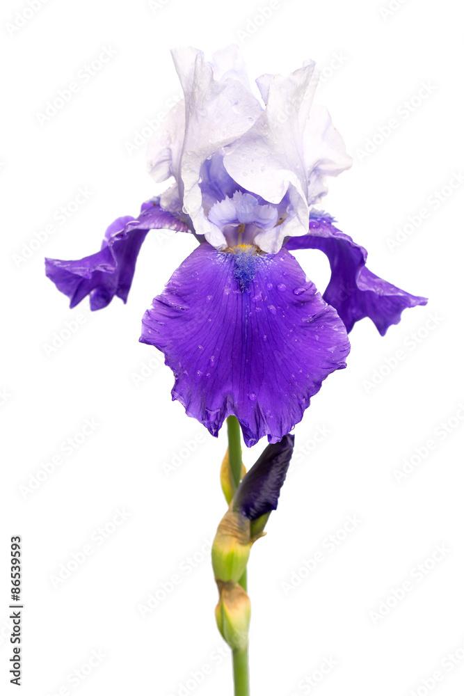 Fototapeta blue and white iris flower isolated on white background