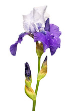 Blue And White Iris Flower Iso...