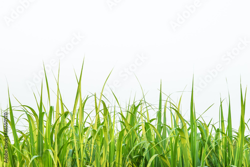 Fotografie, Obraz  Sugar cane leaf on isolated white background