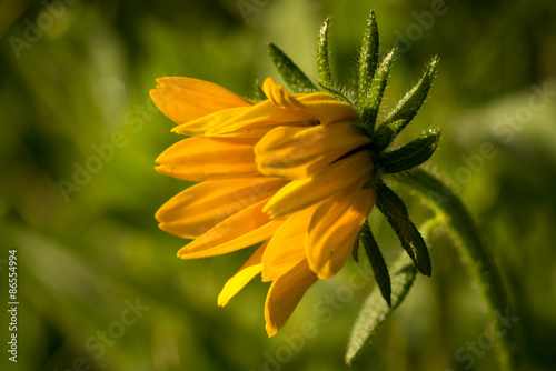 Fotografija  Macro of Rudbeckia hirta flower, Asteraceae spp, kwnon as Black-eyed Susan