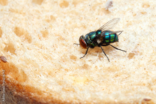 Blow fly sitting on a piece of bread