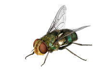 Blow Fly (Lucilia Caesar, Calliphoridae)