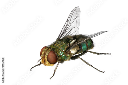 Blow fly (Lucilia caesar, Calliphoridae)