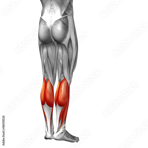 Conceptual 3d Human Back Lower Leg Muscle Anatomy Buy This Stock