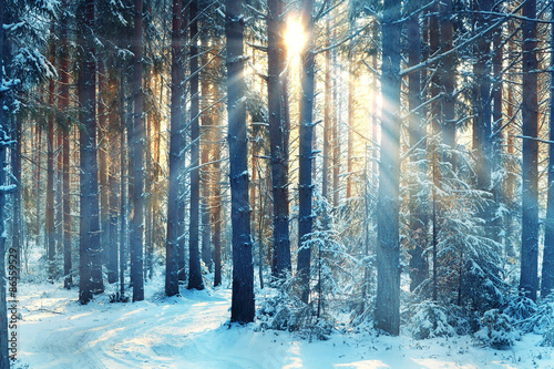 Obraz January winter landscape in the forest - fototapety do salonu