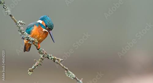 fototapeta na ścianę Kingfisher