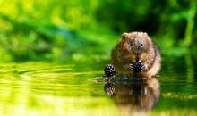 A Little Wild Water Vole Eatin...
