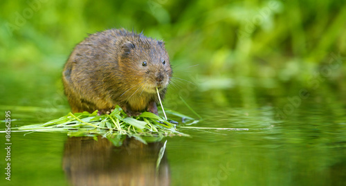 Cuadros en Lienzo  A little wild water vole eating
