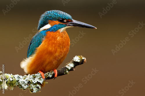 Photo Stands Bird kingfisher
