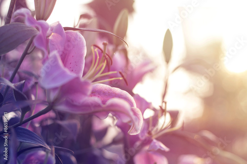 Fotografía Beautiful lilly blooming in spring garden with blurred background, pink tone