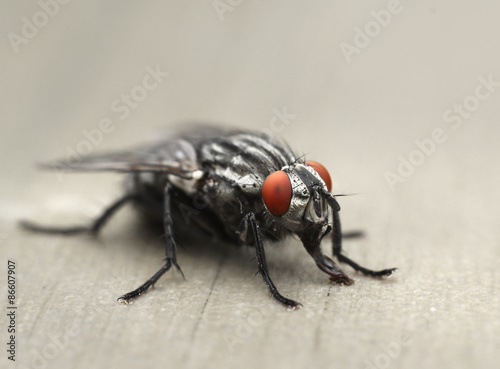 Deurstickers Textures Common housefly macro
