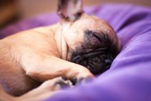 Small Sleeping French Bulldog