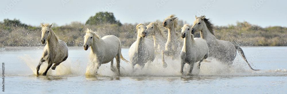 Fototapety, obrazy: Herd of White Camargue horses running through water