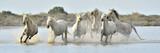 Fototapeta Horses - Herd of White Camargue horses running through water