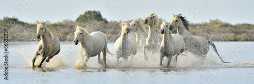 Fotografiet  Herd of White Camargue horses running through water