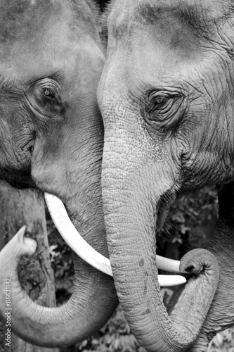 Fotografering  Black and white close-up photo of two elephants being affectionate