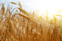Golden Barley Field Closeup