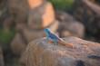 Agame wechselt ihre Farbe in Afrika