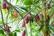 Leinwandbild Motiv pianta del cacao