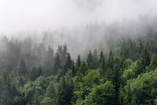 Fog Rolling In Over Lush Everg...