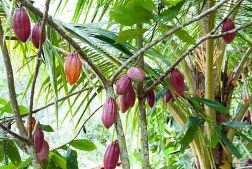 Fotografía  Pianta del Cacao