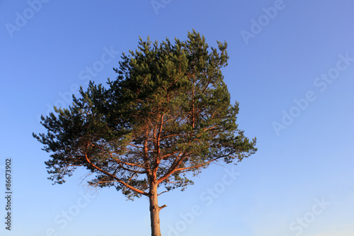 Fotografie, Obraz  Lone pine over the blue sky