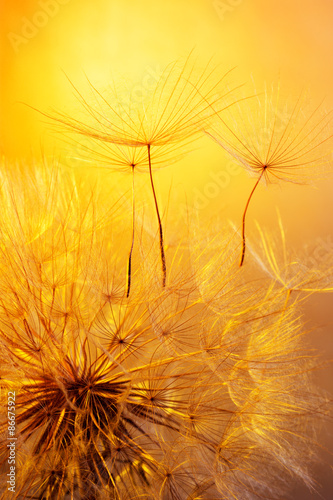 close up of dandelion on golden background