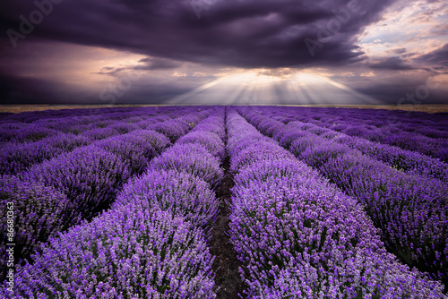 Rays over lavender field
