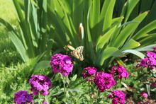 Swallowtail Butterfly Enjoys T...