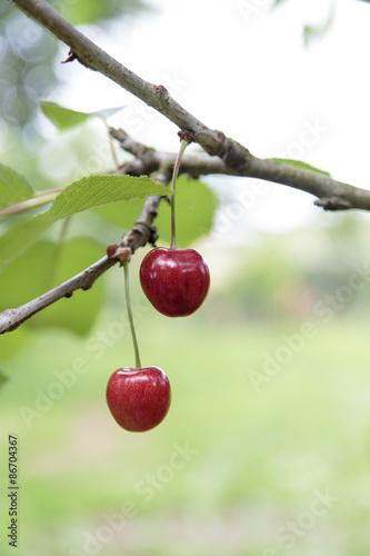 Zwei rote Kirschen am Baum<br>@ p(AS)ob