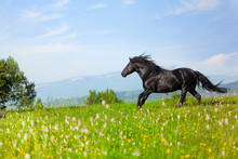 Black Horse Jumps On A Green Meadow In A Sunny Day