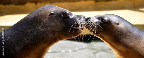 Fototapeta premium A kiss between sea lions