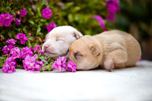 Two Adorable Newborn Puppies W...