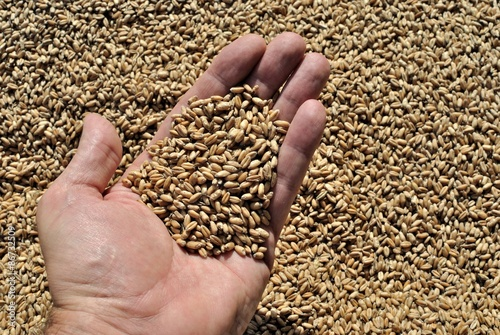 Fotografie, Obraz Manciata di grano
