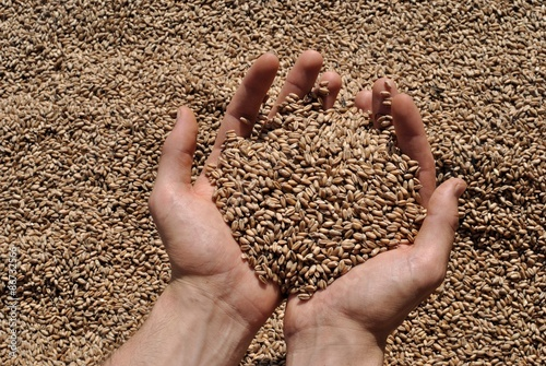 Obraz Manciata di grano - fototapety do salonu