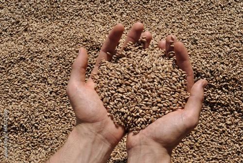 Fototapeta  Manciata di grano