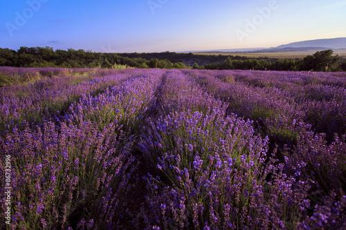 Fototapeta Lavander field of Crimea. obraz na płótnie