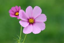 Pink Cosmos Flowers - Cosmos Bipinnatus