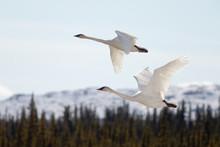 Flying Pair Trumpeter Swans Cygnus Buccinator