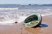 Shiny Nacre Abalone Shell Washed Ashore Onto Beach