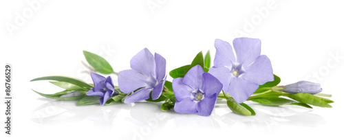 Fotografia Beautiful blue flowers periwinkle on white background