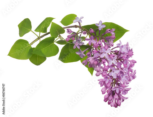 Foto op Plexiglas Lilac light isolated lilac inflorescence and green leaves
